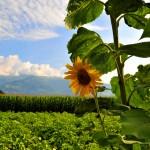 Sonnenblume im Feld